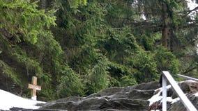 Alberi di pino nella foresta stock footage