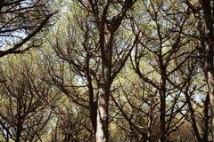Alberi di pino nudi Fotografia Stock