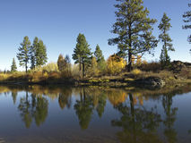 Alberi di pino su un fiume Fotografia Stock Libera da Diritti
