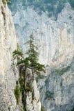 Alberi di pino su una roccia Fotografia Stock