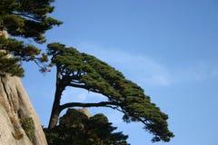 Alberi di pino sul fianco di una montagna Fotografie Stock Libere da Diritti