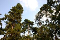 Alberi di pino verdi frondosi Immagine Stock Libera da Diritti