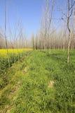 Alberi di pioppo del Punjab Immagine Stock