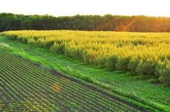 Alberi di pioppo della piantagione Immagini Stock
