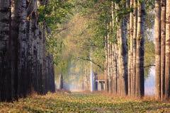 Alberi di pioppo di vesture della nebbia Fotografia Stock