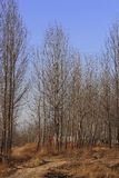 Alberi di pioppo in inverno Immagine Stock