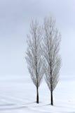 Alberi di pioppo nell'ambiente molle e tranquillo nell'orario invernale Fotografia Stock