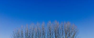 Alberi di pioppo senza foglie in Italia immagini stock libere da diritti