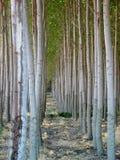 Alberi di pioppo uniformi nell'Oregon fotografia stock libera da diritti