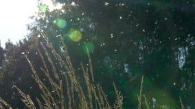 Alberi di pioppo vaghi su fondo Molta della lanugine del pioppo vola nell'aria stock footage