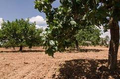 Alberi di pistacchio, Antep, Turchia Fotografia Stock