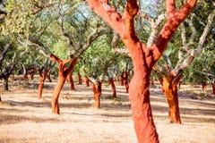 Alberi di quercia da sughero nel Portogallo Fotografia Stock