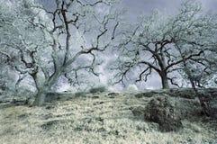 Alberi di quercia di inverno nel Infrared Immagini Stock