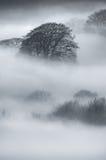 Alberi di quercia in nebbia spessa Fotografia Stock