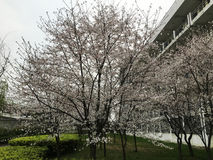 Alberi di Sakura in città universitaria Immagini Stock Libere da Diritti