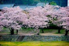 Alberi di Sakura del fiore di ciliegia immagine stock libera da diritti
