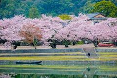 Alberi di Sakura del fiore di ciliegia fotografie stock