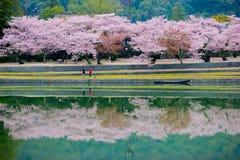 Alberi di Sakura del fiore di ciliegia fotografia stock
