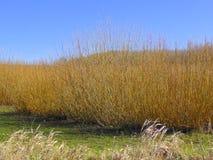 Alberi di salice su una piantagione Fotografie Stock