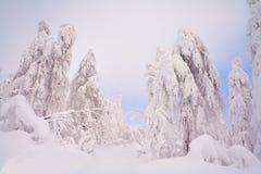 Alberi di Snowy Fotografia Stock