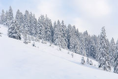 Alberi di Snowy I Fotografia Stock Libera da Diritti