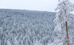 Alberi di Snowy nella foschia alle montagne di mattina Fotografia Stock