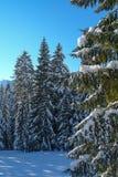 Alberi di Snowy VII Fotografie Stock