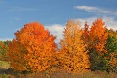 Alberi di Sugar Maple nella caduta Immagini Stock Libere da Diritti