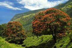 Alberi difioritura Spathodea dell'albero Fotografie Stock