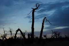 Alberi diritti guasti nel tramonto Fotografie Stock Libere da Diritti