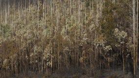 Alberi dopo il fuoco, Spagna fotografie stock libere da diritti
