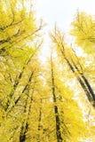 Alberi dorati alti di autunno in foresta Immagini Stock Libere da Diritti