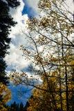 Alberi dorati di Aspen con un cielo luminoso Fotografie Stock