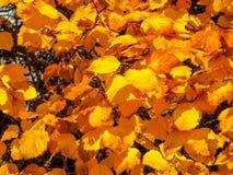 Alberi dorati di autunno Immagini Stock