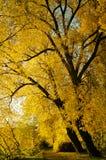 Alberi dorati di autunno Fotografie Stock Libere da Diritti
