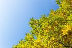 Alberi e cielo blu autunnali Fotografia Stock