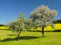 Alberi e cielo blu bianchi Immagini Stock Libere da Diritti