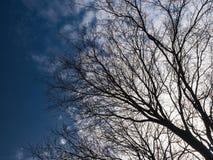 Alberi e cielo blu nudi Fotografia Stock Libera da Diritti