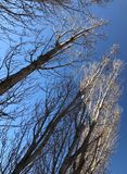 Alberi e cielo blu nudi secondi immagine stock libera da diritti