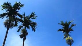 Alberi e cielo dell'areca stock footage