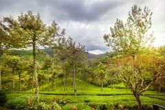 Alberi e colline della natura Piantagione di tè La Sri Lanka Immagini Stock