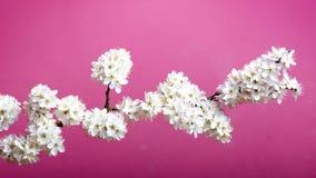 Alberi e fiori del fiore Bella vista della natura della molla su un fondo viola Concetto degli alberi della molla e delle stagion Fotografia Stock Libera da Diritti