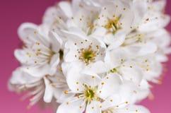 Alberi e fiori del fiore Bella vista della natura della molla su un fondo viola Concetto degli alberi della molla e delle stagion Fotografie Stock