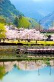 Alberi e fiori di Sakura del fiore di ciliegia lungo il fiume di Nishiki fotografia stock libera da diritti