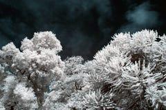 Alberi e foglie infrarossi Immagini Stock Libere da Diritti