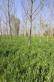 Alberi e grano di pioppo Immagini Stock