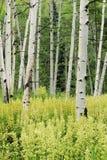 Alberi e Helleboro di tremito Aspen fotografia stock