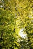 Alberi e luce solare durante la caduta Immagini Stock Libere da Diritti