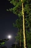 Alberi e luna di pino immagine stock