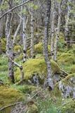 Alberi e massi enormi nella foresta Irlanda fotografia stock